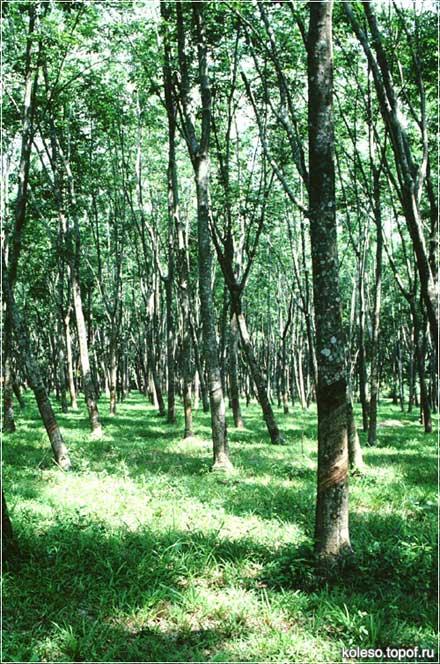 плантация  каучуковых деревьев в Таиланде